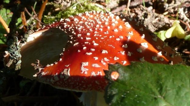 Sibratzsgfäll Schönenbach fliegenpilz mushroom