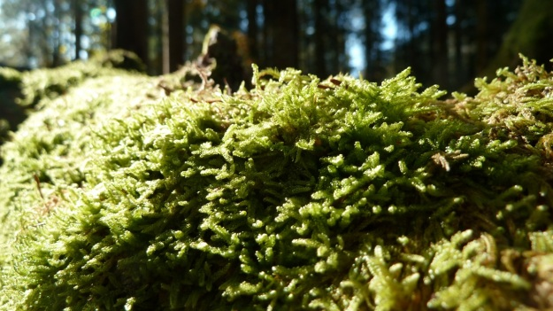 Sibratzsgfäll Schönenbach moss on dead tree