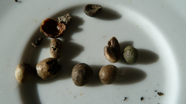 home coffee roasting with the whirley - sorting out the bad ones