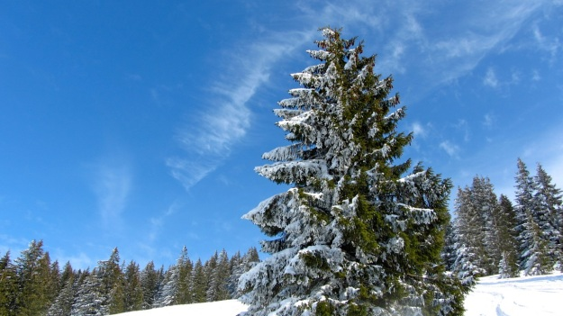 ski touring in the bregenzer wald - pine tree