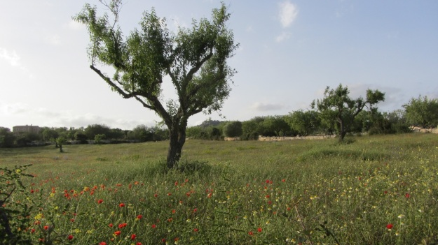 best of mallorca - olive tree