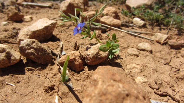 best of mallorca - small blue flower
