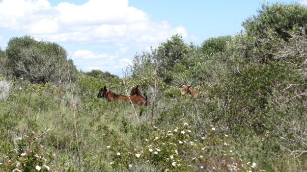 best of mallorca - wild goats
