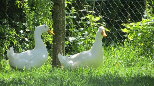 lindau bad schachen stroll - ducks