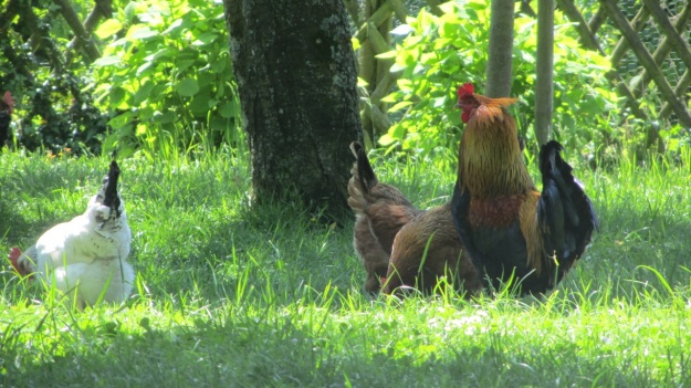 lindau bad schachen stroll - rooster and chicken