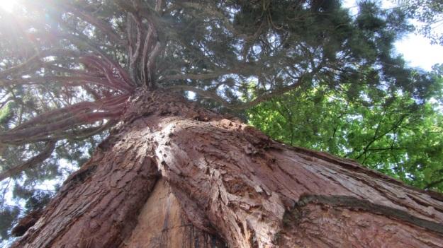 lindau bad schachen stroll sequoia tree