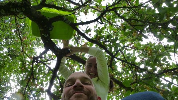 Sunday cake - Marillenkuchen mit Schlagsahne - picking the yellow little plums