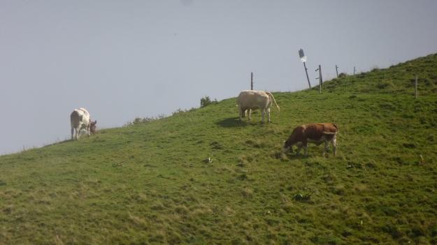 hiking to the mörzelspitze in austria vorarlberg14 - cows