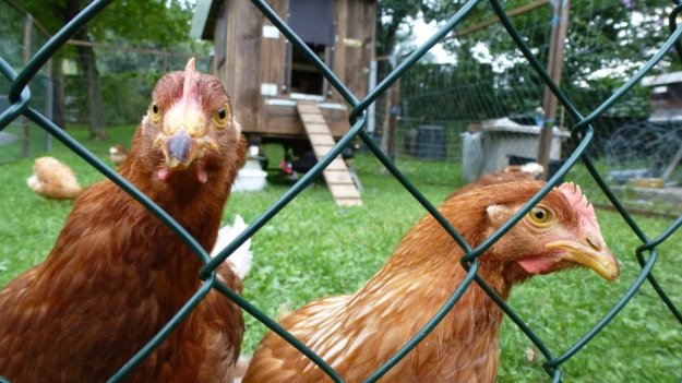 Neighbors Rooster and his 5 chicks - organic farm free