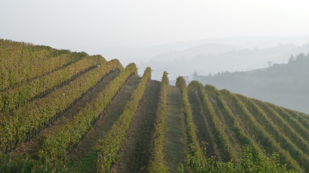 vineyard with fog piemont